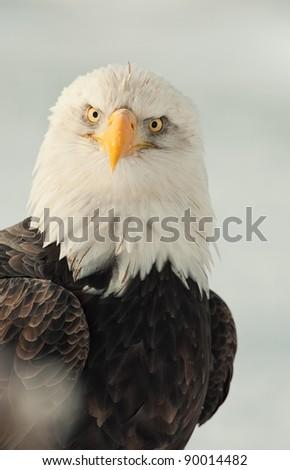 Face-to-face portrait of an North american bald eagle - Haliaeetus leucocephalus