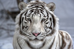 Face to face with white bengal tiger. Closeup portrait.