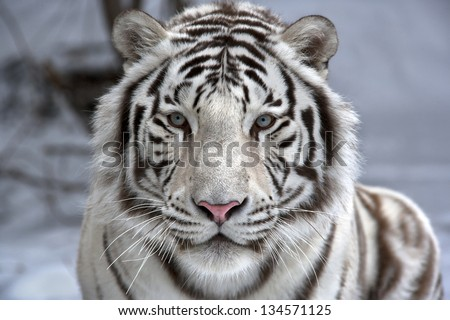 Face to face with white bengal tiger. Closeup portrait. #134571125