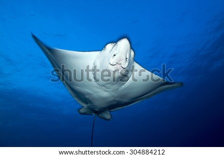 face view of spotted eagle ray swimming #304884212