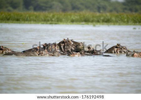Faces of submerged school of Hippos in Lake Naivasha, Great Rift Valley, Kenya, Africa