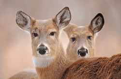 Faces of two white-tailed deer with their ears perked up