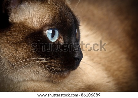 facial close up of cute blue-eyed siamese cat