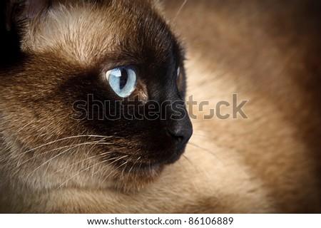 facial close up of cute blue-eyed siamese cat