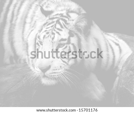 Faded background of Siberian Tiger on a ledge.