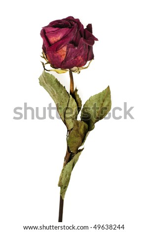 faded rose isolated on white background