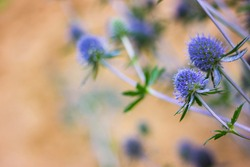 Faded thistle in the meadow. Spiky blue flowers on a branch. Warm autumn blurred background