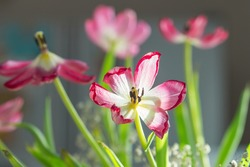 Faded tulips. Withered flower against sunlight. Pink tinted tulips. Dying tulip flower