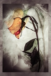 Fading beauty of a rose, fragile and still beautiful. Double Exposure