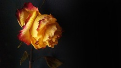 Fading golden red rose withered on black background.