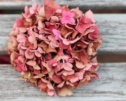 Fading pink hydrangea flower head on shabby chic wooden bench, an autumnal , vintage feel, A faded romantic,  grunge floral  image with shallow depth of field