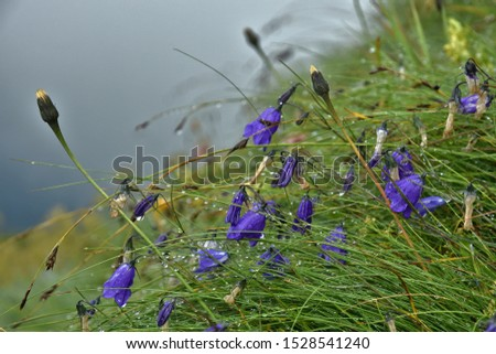 fairies' thimbles, earleaf bellflower, fairy's thimble, with dewdrops