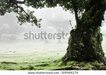 Fairy Forest, Laurel Forest in Madeira, Portugal