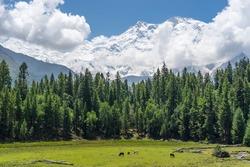 Fairy meadow with Nanga Parbat background, Pakistan