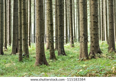 fairy tale fir tree forest #115183384