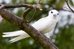 Fairy tern bird, holy ghost bird (Sterna nereis) sitting on the branch in the forest