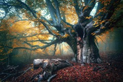 Fairy tree in fog. Old magical tree with big branches and orange leaves. Mystical autumn forest in fog. Magical forest. Amazing colorful landscape with misty tree with red foliage. Nature.Foggy forest