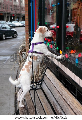 Faithful brown and white dog stares longingly in window while waiting for its master to return