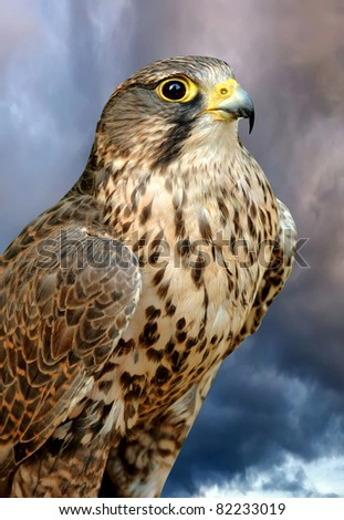 Falcon - stock photo