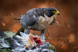 Falcon, bird feeding behaviour. Peregrine Falcon, bird of prey sitting in forest moss stone with catch during autumn season, Germany. Falcon witch killed dove. Wildlife scene from snowy nature.