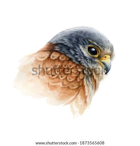 Falcon bird portrait watercolor illustration. Hand drawn close up realistic kestrel head image. Wild predator avian element. Europe hawk image. Bird of prey isolated on white background. Stock fotó ©