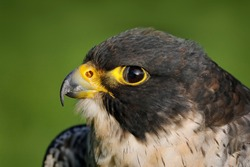 Falcon, close-up head portrait. Peregrine Falcon, bird of prey sitting on the stone in the rock, detail portrait in the nature habitat, Germany. Wildlife scene with bird from Europe during rainy day.
