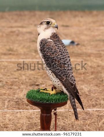 Falcon. Falconry.