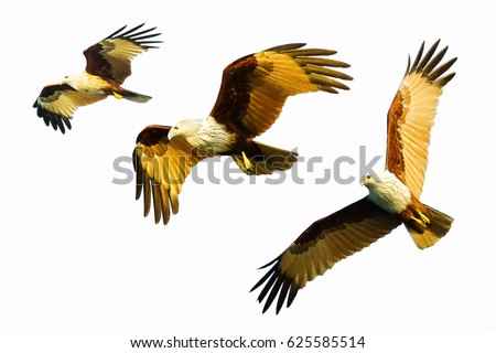 falcon flying isolated on white background  #625585514