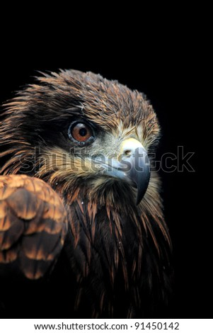 Falcon head closeup with black background - stock photo