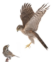falcon hunts a sparrow on a white background