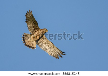 Falcon in flight over natural blue sky background.