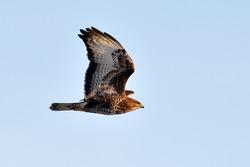 falcon in natural habitat (falco tinunculus)