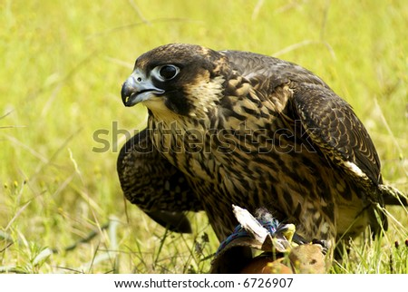 Falcon of prey looking for, a fast-flying bird of prey with long pointed wings. [Genus Falco: many species.]