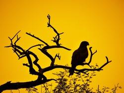 Falcon on branch of tree - Dark evening