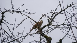 Falcon on tree branch observes movements on the ground