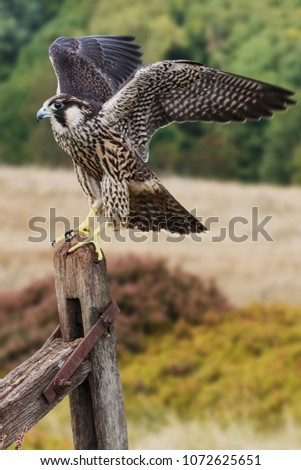 Falcon ready to go. An immature peregrine falcon flaps its wings as it prepares to leave its perch on a gate post.