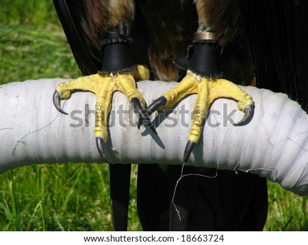 falcons talons stock photo 18663724 shutterstock