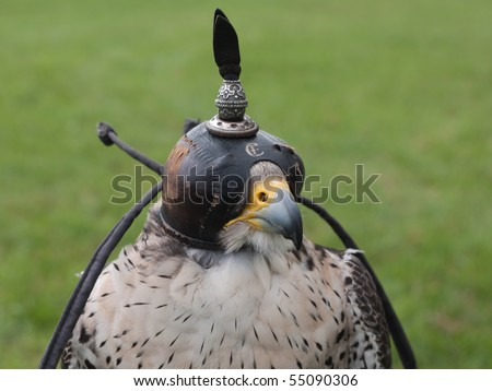 Falcon with a cap on the head to keep him asleep
