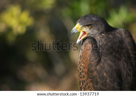Falcon with open beak against an out-of-focus background. - stock photo