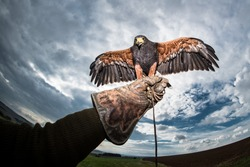 Falconer gloves with a ferocious and wild predators Harris's Hawk and cloudy sky and cloud