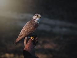 Falconer hand with Saker falcon (Falco cherrug). Saker falcon sits on glove falconer. Autumn sun background. Saker falcon portrait.