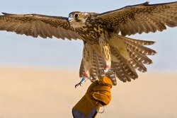 Falconer wearing falconry glove holding his falcon bird in a middle east desert location