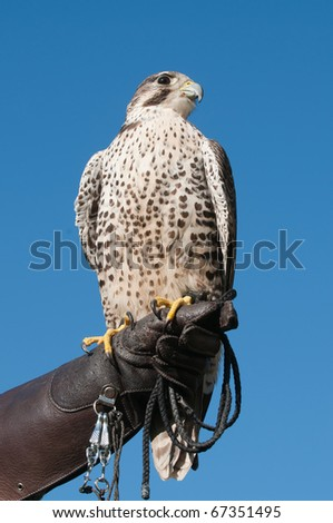 Falconer with a Peregrine falcon on a gloved hand