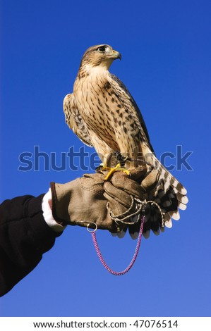Falconer with Peregrine Falcon crossbred with a Prairie Falcon and Gyrfalcon mix sitting on gloved hand of handler