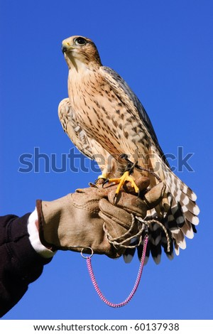 Falconer with Peregrine Falcon crossbred with a Prairie Falcon and Gyrfalcon mix sitting on gloved hand of handler - stock photo