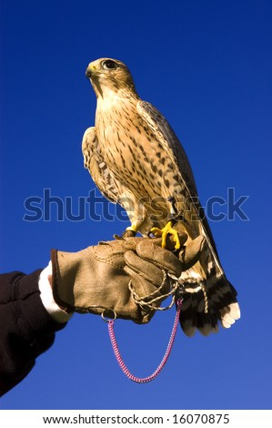 Falconer with Peregrine Falcon crossbred with a Prarie Falcon and Gyrfalcon mix sitting on gloved hand of handler