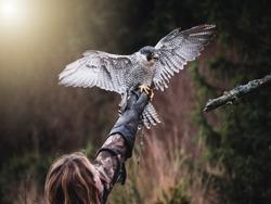 Falconer with Peregrine falcon (Falco peregrinus). Peregrine falcon sits on glove falconer. Autumn sun background. Peregrine falcon portrait.