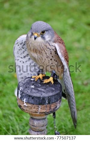 Falconry show with male kestrel falco tinnunculus