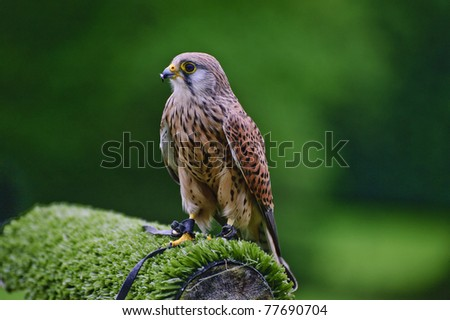 Falconry show with male kestrel falco tinnunculus