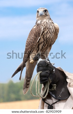 Falcons face - stock photo